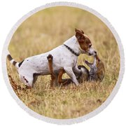 Red Fox Playing With Jack Russell Round Beach Towel