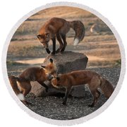 Red Foxes Vulpes Fulva Round Beach Towel