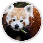 Red Panda  Ailurus Fulgens Eating Round Beach Towel