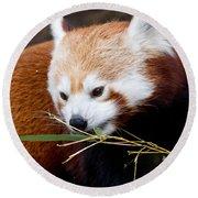 Red Panda  Ailurus Fulgens In Captivity Round Beach Towel