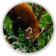 Red Panda Tree Climb Round Beach Towel