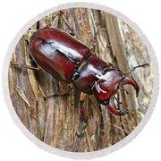 Reddish-brown Stag Beetle - Lucanus Capreolus Round Beach Towel