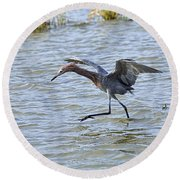 Reddish Egret Canopy Feeding Round Beach Towel