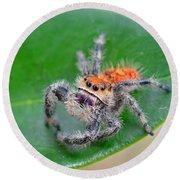 Regal Jumping Spider Round Beach Towel