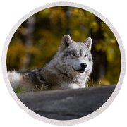Resting Arctic Wolf On Rocks Round Beach Towel