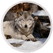 Resting Timber Wolf Round Beach Towel