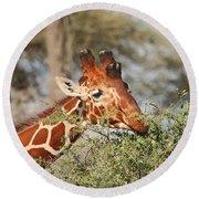 Reticulated Giraffe Browsing Acacia Kenya Round Beach Towel