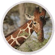Reticulated Giraffe Feeding On Acacia Round Beach Towel
