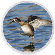 Ring-necked Duck Landing Round Beach Towel