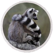 Ring-tailed Lemur Lemur Catta  Round Beach Towel