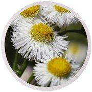 Robin's Plantain Wildflowers - Erigeron Pulchellus Round Beach Towel