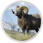 Rocky Mountain Big Horn Sheep Round Beach Towel by Bob Christopher