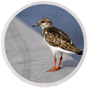 Ruddy Turnstone Bird Arenaria Interpres Florida Usa Round Beach Towel
