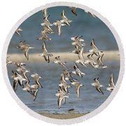 Sanderlings And Dunlins In Flight Round Beach Towel