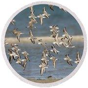 Sanderlings And Dunlins In Flight Round Beach Towel