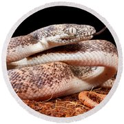 Savu Python In Defensive Posture Round Beach Towel