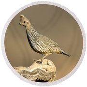 Scaled Quail Callipepla Squamata Round Beach Towel