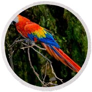 Scarlet Macaw Perched Round Beach Towel
