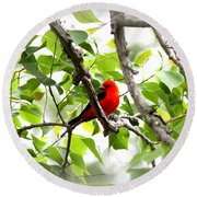 Scarlet Tanager - 11 Round Beach Towel