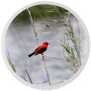 Scarlet Tanager - Coastal - Migration Round Beach Towel