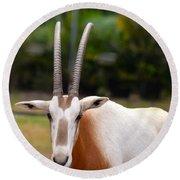 Scimitar Horned Oryx 2 Round Beach Towel