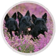 Scottish Terrier Dogs Round Beach Towel
