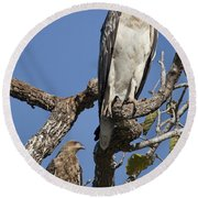 Sea Eagle And Brown Kite Sharing A Tree Round Beach Towel
