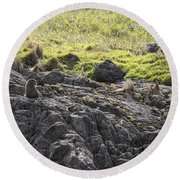 Seal - Montague Island - Austrlalia Round Beach Towel