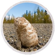 Shaggy Mane Mushroom Grows Through Gravel Surface Round Beach Towel