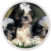Shih Tzu Puppy Dogs Round Beach Towel
