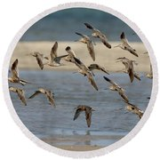 Short-billed Dowitchers Flying Round Beach Towel
