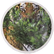 Siberian Tiger In Hiding Wildlife Rescue Round Beach Towel