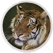 Siberian Tiger Portrait Endangered Species Wildlife Rescue Round Beach Towel