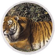 Siberian Tiger Stalking Endangered Species Wildlife Rescue Round Beach Towel