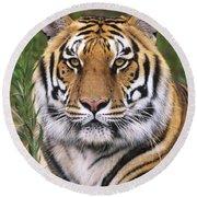 Siberian Tiger Staring Endangered Species Wildlife Rescue Round Beach Towel