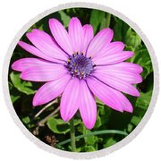 Single Pink African Daisy Against Green Foliage Round Beach Towel