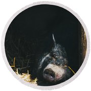 Sleeping Potbelly Pig Round Beach Towel