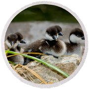 Smew Ducklings On Shore Round Beach Towel