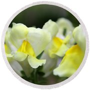 Snapdragons Group Of Yellow Cream Round Beach Towel