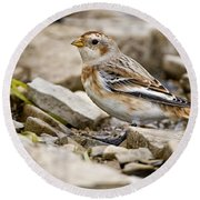Snow Bunting Pictures 43 Round Beach Towel