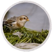 Snow Bunting Pictures 87 Round Beach Towel