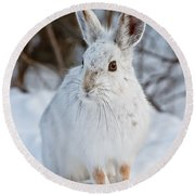 Snowshoe Hare Pictures 130 Round Beach Towel