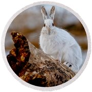 Snowshoe Hare Pictures 131 Round Beach Towel