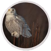 Snowy Owl Pictures 64 Round Beach Towel