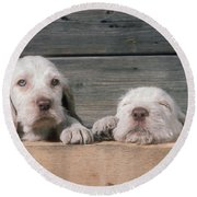 Spinone Puppies Round Beach Towel