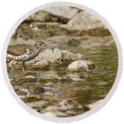 Spotted Sandpiper Pictures 36 Round Beach Towel