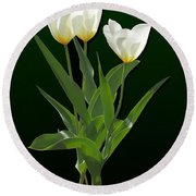 Spring - Backlit White Tulips Round Beach Towel