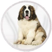 St Bernard Dog Round Beach Towel