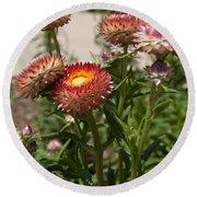 Straw Flowers Xerochrysum Bracteatum Round Beach Towel