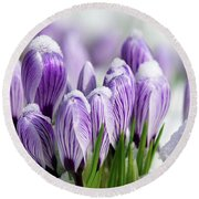 Striped Purple Crocuses In The Snow Round Beach Towel